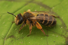 Grasbij - Andrena flavipes, female