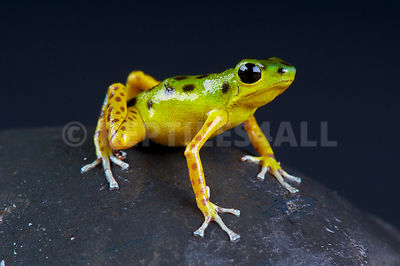"Strawberry dart frog / Oophaga pumilio ""Colon bocas del Drago"""