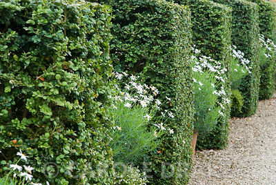 Box buttresses alternate with pots of white flowered argyranthemums in the White Garden. Bourton House, Bourton-on-the-Hill, ...