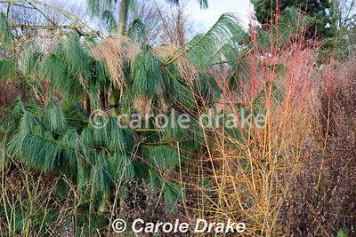 Pine with Cornus sanguinea 'Midwinter Fire' at Ellicar Gardens, Notts in winter