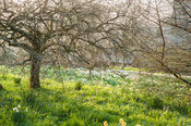 Meadow of naturalized daffodils with trees. Cotehele, Cornwall, UK