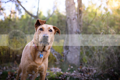 snaggletooth dog with ear standing near tree in autumn