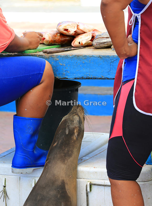 Galapagos Sea Lion (Zalophus californianus wollebacki) waiting patiently to be fed scraps as fish are gutted and filleted at ...