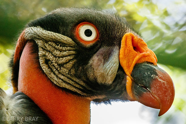 King vulture in an Aviary in Cartagena, Colombia, South America