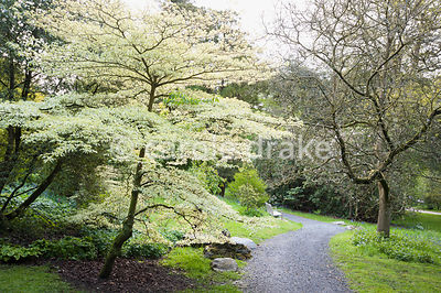 Cornus controversa 'Variegata' in the woodland garden. Holker Hall, Grange over Sands, Cumbria, UK