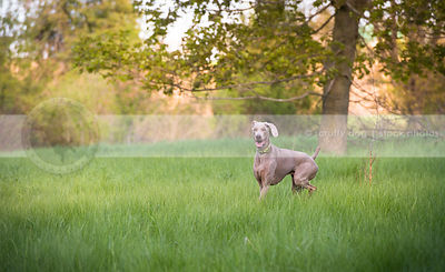 excited grey gundog turning running in summer field