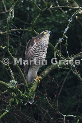 Juvenile male Eurasian Sparrowhawk (Accipiter nisus) looking for prey while perching on a branch in a Lake District garden, C...