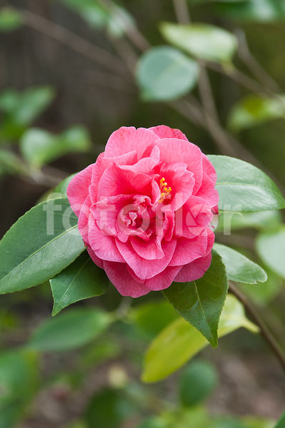 Camelia Japonica 'Betty Sheffield Supreme', camélia, rose