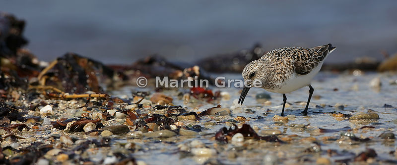 Sanderling (Calidris alba) on the shoreline at Bigton Wick, Mainland South, Shetland: a panoramic image of ratio 2.4 to 1