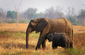African elephant with young suckling (Loxodonta africana), South Luangwa National Park, Zambia