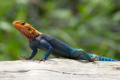 Agama lizard, Tsavo West National Park, Kenya