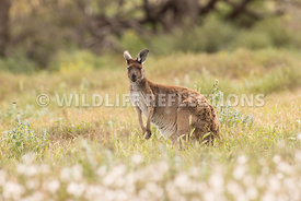 kangaroo_western_grey_white_flowers-4