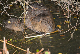 August - Beaver with young