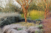 Acer giseum, the paperbark maple, surrounded by colourful cornus, grasses, euonymus and grasses. Sir Harold Hillier Gardens, ...