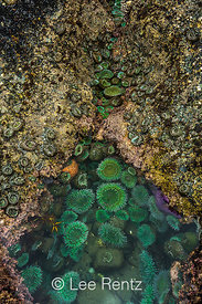 Giant Green Anemone in Tide Pool at Point of Arches