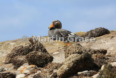 Male Falkland Steamer Duck (Tachyeres brachypterus) roosting on Green Rincon Beach, Pebble Island