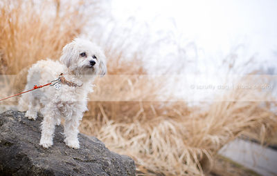 alert little white bichon frise cross dog standing on rock in dried grasses