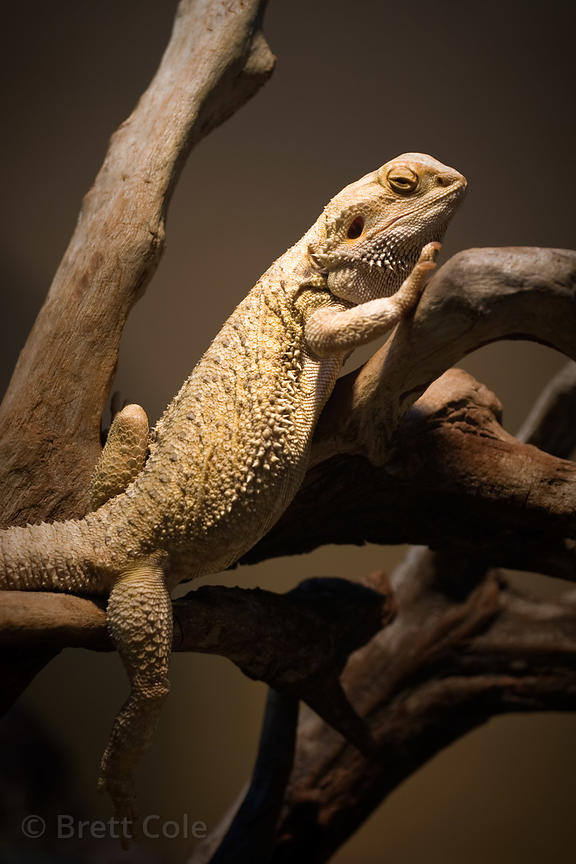 Inland Bearded Dragon ( Pogona vitticeps), National Zoo, Washington D.C.