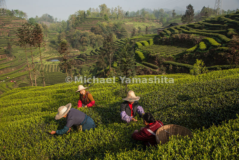 Pickers dot the waves of cultivated tea at one of the three largest plantations in Yaan, Sichuan Province where the northern ...
