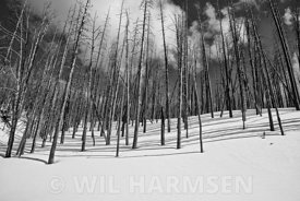 Winter Burned Forest Black and White