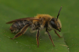 Andrena mitis/helvola from Durmplassen, Merendree 03/05/2015