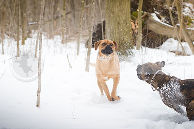 two funny giant breed dogs playing in snow