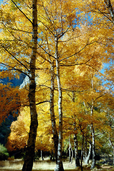 Birch trees in Autumn, Covão da Ametade. Serra da Estrela Nature Park, Portugal