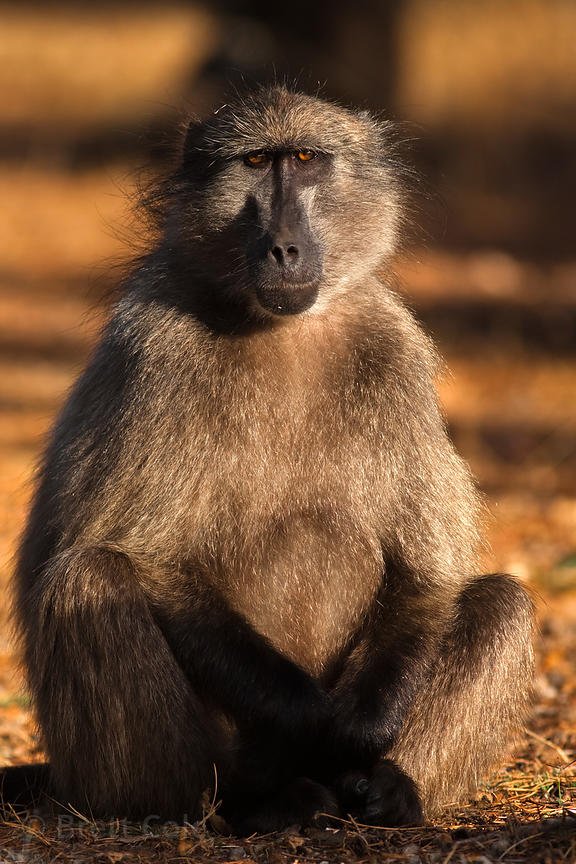 Chacma baboon from the Plateau Road troop, Cape Peninsula, South Africa