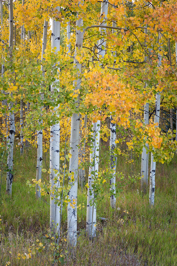 Multi-colored Aspens