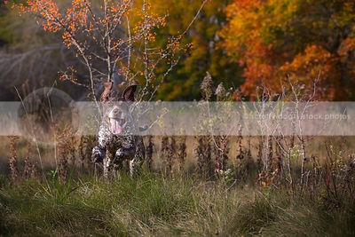 brown pointer dog with ears running in autumn meadow