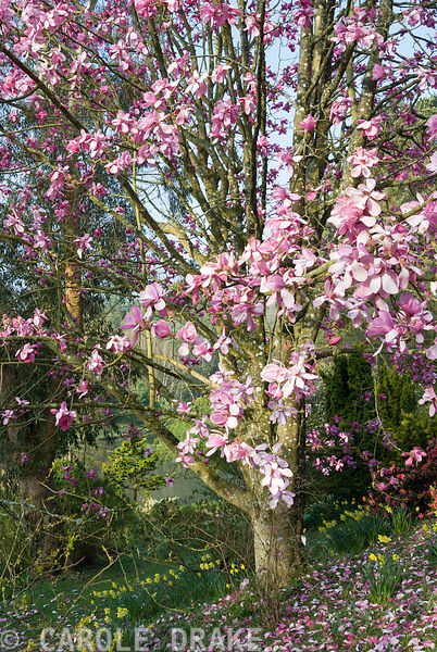 Luscious pink blooms of Magnolia sprengeri 'Marwood Spring'. Marwood Hill Gardens, Barnstaple, Devon, UK