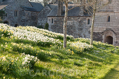 Naturalized daffodils on the bank in front of the south entrance. Cotehele, Cornwall, UK