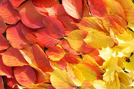 A pattern arrangement of fallen autumn leaves. © Rob Whitworth