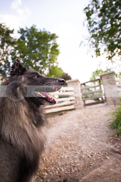 portrait of belgian shepherd dog looking skyward near fence