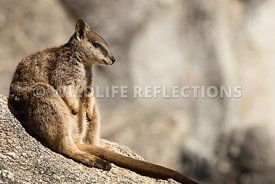 rock_wallaby_mareeba_rock_sit-9