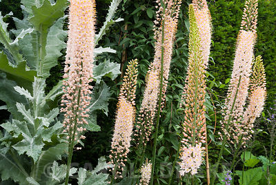 Foxtail lilies, Eremurus, beside the silvery foliage of a Scotch thistle, Onoprodum acanthium on the terrace at Cothay Manor,...