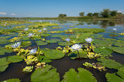 Water lilies, Elephant Marsh, floodplane of the Shire River, Malawi