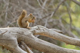 April - Red Squirrel