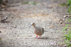 Mourning Dove on a Sidewalk