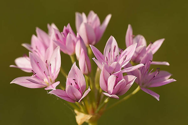 Allium species
