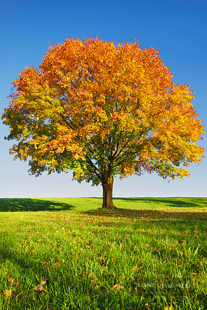 Norway maple in autumn colours (lat. acer platanoides) - Europe, Germany, Bavaria, Upper Bavaria, Bad Tölz-Wolfratshausen, Ba...