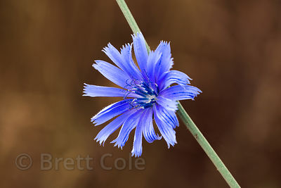Chicory (Cichorium intybus), Bald Hills, California Redwoods