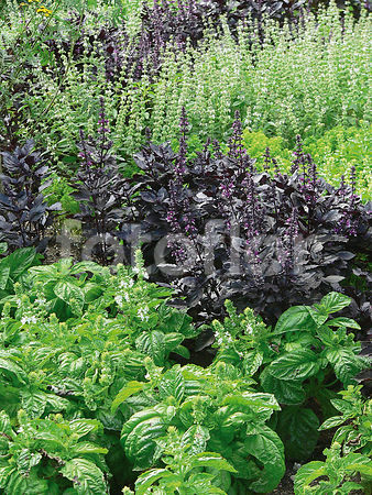 Scene de collection d'ocimum basilicum
