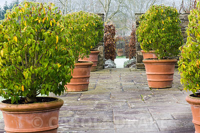 Prunus lusitanica 'Myrtifolia' in pots on the terrace frame the entrance to Il Vivaio, a small enclosed pond garden and the f...