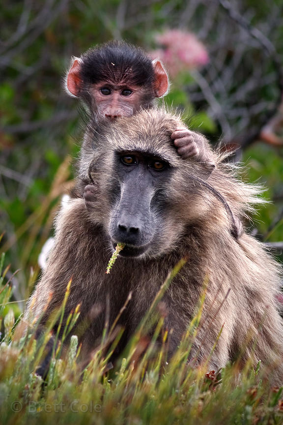 An adult female baboon from the Kanonkop troop carrying her baby in Smitswinkel Flats, Eating flowers (?) of (Roella triflora...