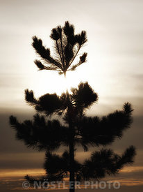 Junior Pine tree