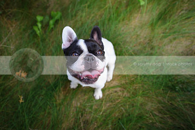 french bulldog staring up from grasses