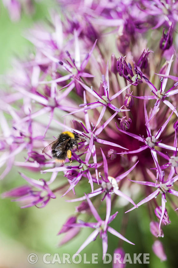 Bee on Allium cristophii.