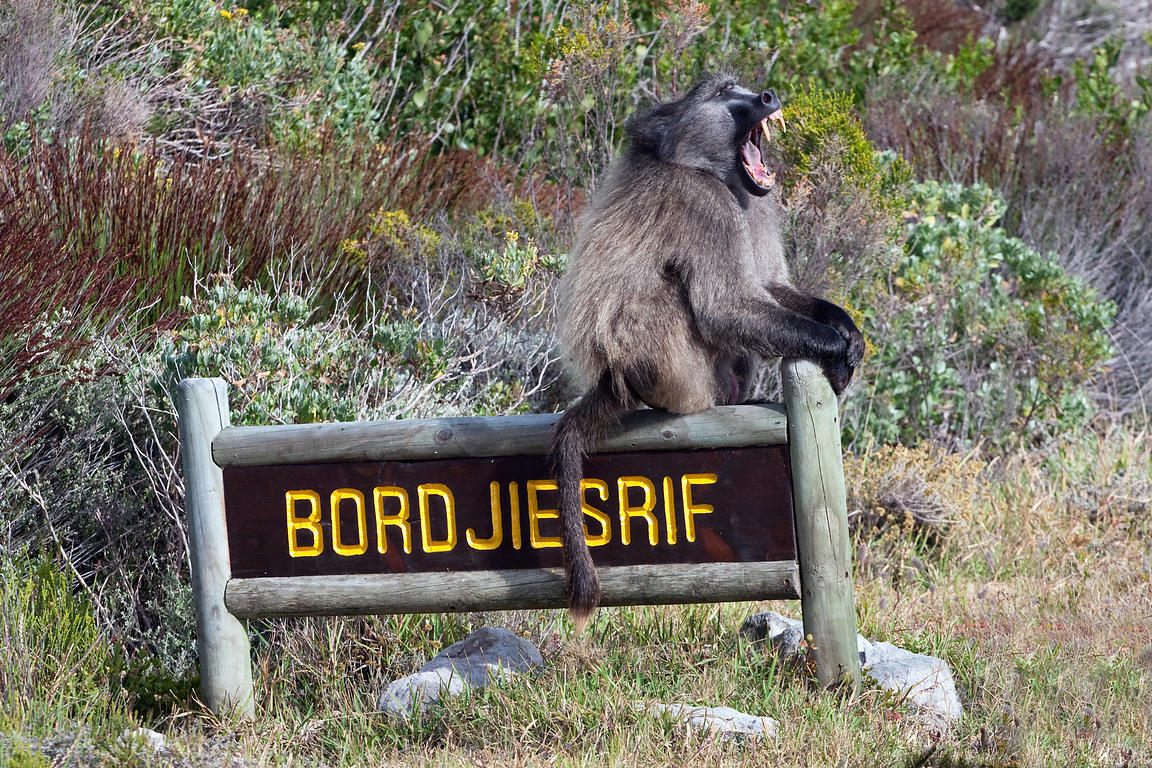 Alpha male chacma baboon from the Buffels Bay troop by the sign for the Bordjesrif area of the national park, Cape Peninsula,...