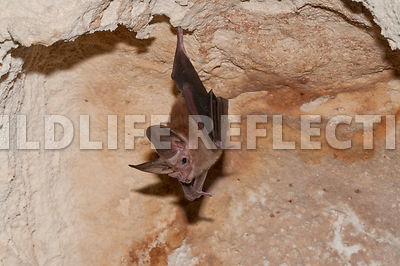waterhouse_bat_hanging_16